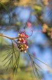 Grevillea blomma i solen Royaltyfria Foton