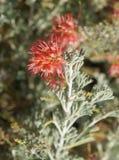 Grevillea brachystachya blossom Stock Photos