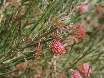 Grevillea brachystachya in full blossom Royalty Free Stock Photography