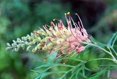 Grevillea Royalty Free Stock Image