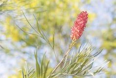 Grevillea con la flor de araña rosada Imágenes de archivo libres de regalías
