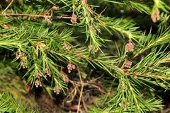 Grevillea de Rosemary, rosmarinifolia de Grevillea Fotos de archivo