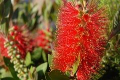 Grevillea in der Blume, australische einheimische Pflanze lizenzfreie stockbilder