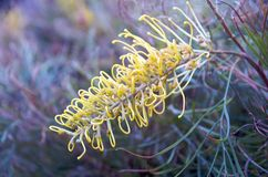 Grevillea Flower Royalty Free Stock Image