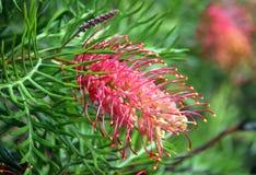 Grevillea Flower Stock Photos