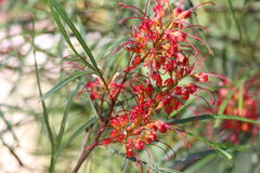 Grevillea Flower Stock Photo