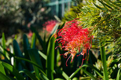 Grevillea flower Royalty Free Stock Photo
