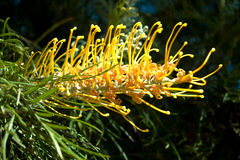 Grevillea Flower Growing Naturally on Tree Royalty Free Stock Photography