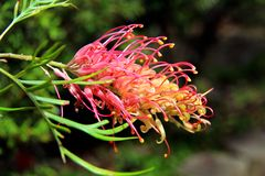 Grevillea Flower Stock Photography