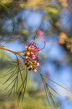 Grevillea flower in the sun Royalty Free Stock Photos