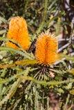 Grevillea Honey Gem fotografia de stock