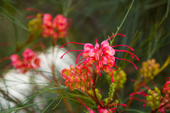 Grevillea johnsonii flowers Stock Photo