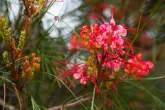 Grevillea johnsonii flowers Stock Photos
