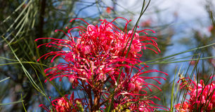 Grevillea johnsonii plant Stock Images