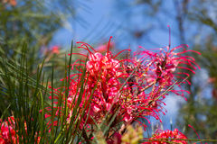 Grevillea johnsonii plant Royalty Free Stock Photos