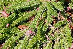 Grevillea lanigera, Woolly Grevillea. Prostrate to erect shrub native of Australia, often cultivated as ground cover, with woolly stems and small green leaves Stock Photos