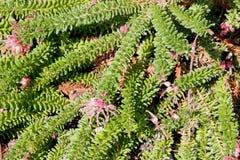 Grevillea lanigera, Woolly Grevillea Stock Photos