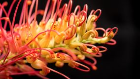 Grevillea Macro Close Up Stock Photo