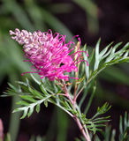 Grevillea. The native Australian Grevillea plant is an evergreen tree or shrub with uniquely shaped flowers. Red Grevillea flowers are common and popular in Stock Photography