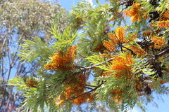 Grevillea Robusta  Australian Silky Oak Tree. With its brilliant orange bottle brush like flowers is a fast growing native tree once valuable for timber Stock Photography