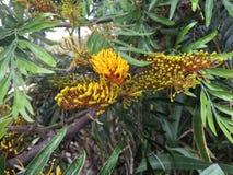 Grevillea robusta, quercia serica sboccia spiegamento in primavera in canyon di Waimea fotografie stock libere da diritti