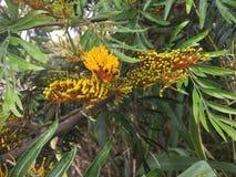 Grevillea robusta, quercia serica sboccia spiegamento in primavera in canyon di Waimea immagini stock