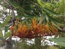 Grevillea robusta, quercia serica sboccia spiegamento in primavera in canyon di Waimea fotografia stock