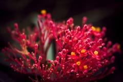Grevillea - rode spinbloem royalty-vrije stock afbeelding