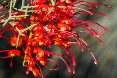 Grevillea rojo y amarillo del wildflower nativo occidental de Australia Imagen de archivo libre de regalías