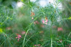 Grevillea rosmarinifolia branch with red flowers royalty free stock photo