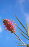 Grevillea species an Australian Wildflower Royalty Free Stock Photos