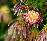 Grevillea Winpara Gem Australian native Stock Images