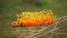 Grevillea. The yellow Grevillea flower. A diverse genus Stock Image