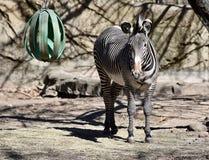 Grevy's sebra på Lincoln Park Zoo fotografering för bildbyråer
