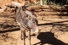 Grevy's zebra, Equus grevyi Royalty Free Stock Photos