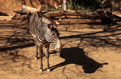 Grevy's zebra, Equus grevyi Stock Photos