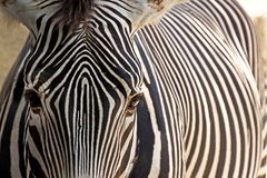 Grevy's Zebra Face Looking Forward. A Grevy's Zebra (Equus grevyi) looking straight forward Stock Image