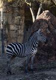 Grevy's-Zebra-Fohlen Stockbilder