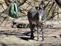Grevy's Zebra at Lincoln Park Zoo. This is an early Spring picture of a male Grevy's Zebra standing in his compound at the Lincoln Park Zoo located in Stock Image
