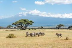 Grevy与乞力马扎罗moun的斑马牧群在背景中在Keny 免版税库存照片