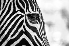 Grevy斑马权利眼睛单音特写镜头  库存图片