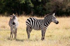 Grevy的斑马马塞人玛拉储备肯尼亚非洲 免版税库存照片