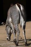 Grevy的斑马(马属grevyi),亦称皇家斑马 库存图片