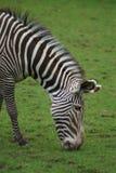 Grevy的斑马-马属grevyi 免版税库存图片