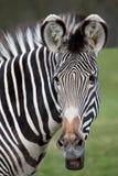 grevy зебра портрета s Стоковые Изображения