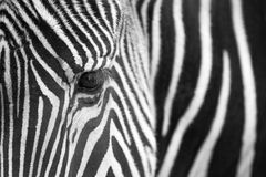 grevy зебра портрета s Стоковые Фото