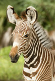 grevy зебра профиля Стоковые Фото