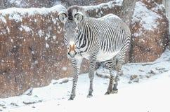 Зебра в снежке Стоковое Изображение