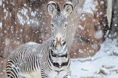 Зебра в snow2 Стоковое Изображение