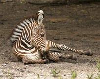 grevy зебра Стоковая Фотография